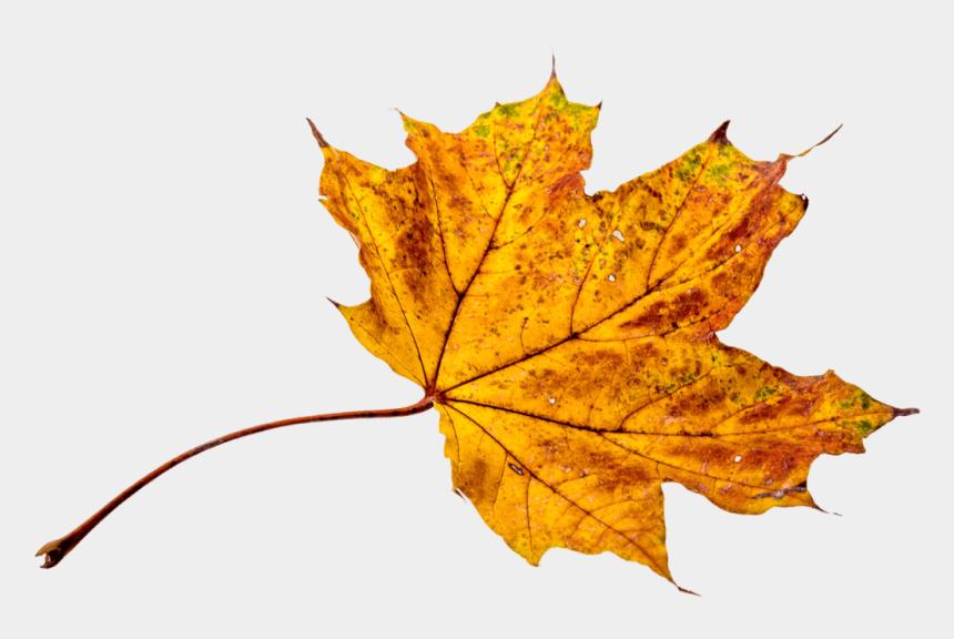 autumn leaves clip art, Cartoons - Autumn, Leaves, Leaf, Png, Transparent, Fall Color - Feuille D Arbre Automne
