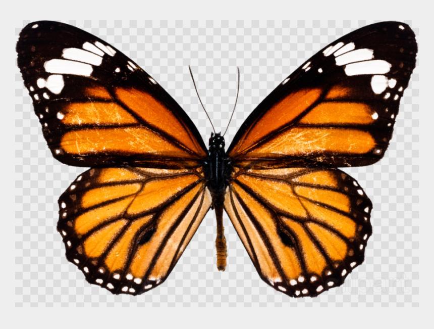 butterflies clipart, Cartoons - Butterfly Png Clipart - Monarch Butterfly Drawing