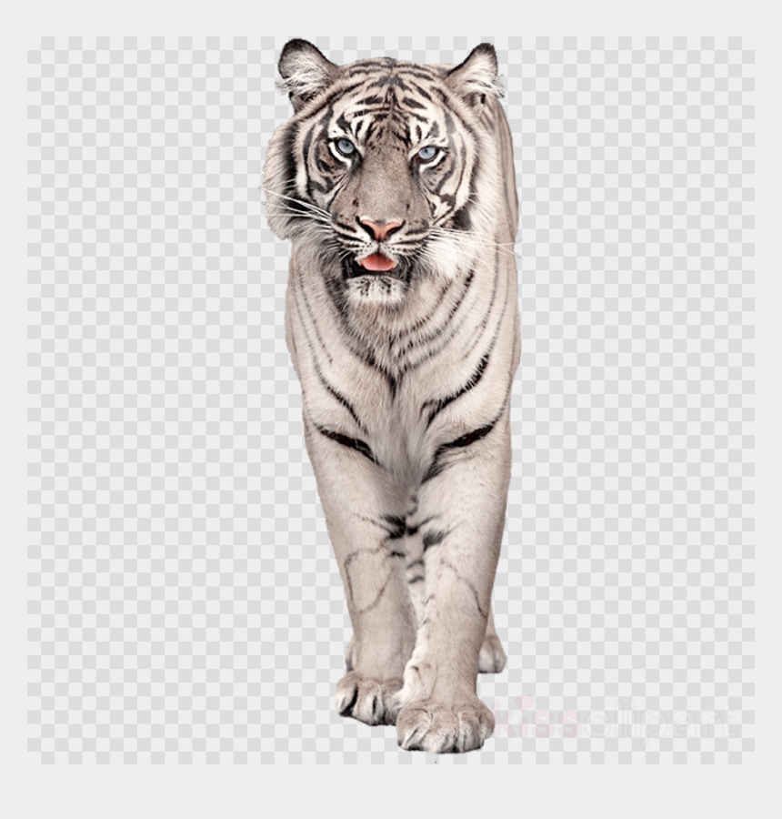 bengal clipart, Cartoons - Download White Bengal Tiger Png Clipart Bengal Tiger - White Tiger Animal Png