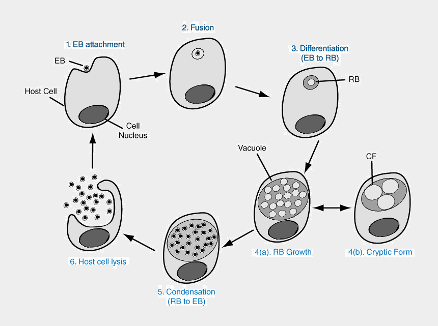 chlamydia clipart, Cartoons - Chlamydia Png Hd Pluspng - Life Cycle Of S Pneumoniae