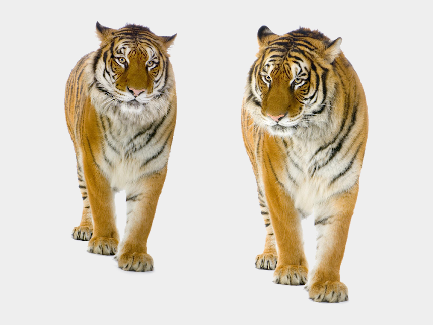 tiger walking clipart, Cartoons - Background Images For Editing, Clip Art, Animals, Free, - Tiger Stock