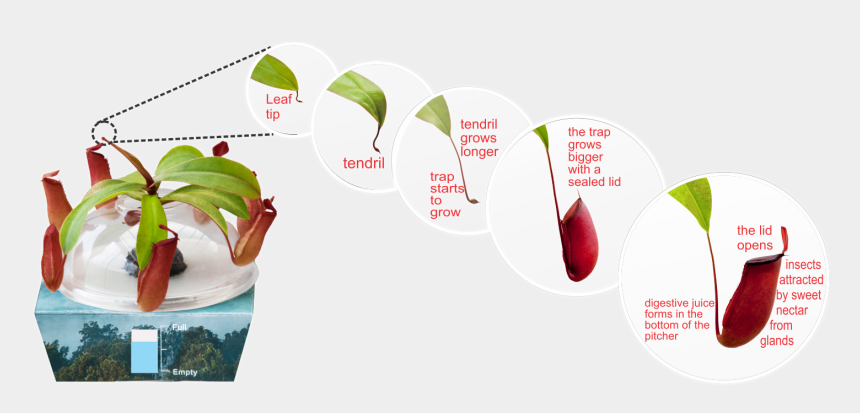 plant life cycle clipart, Cartoons - Amazingly, Your Plant Knows There Is A Hole In The - Tropical Pitcher Plant Life Cycle