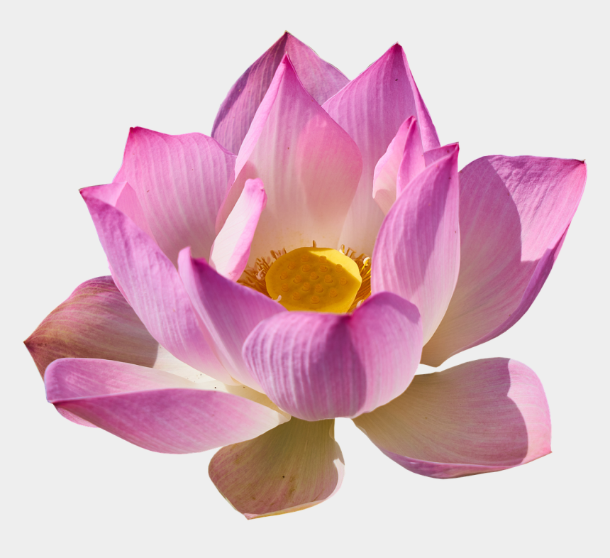 pink lotus flower clipart, Cartoons - Free Pictures, Free Images, Lily, Flowers, Plants, - National Bird Animal Flower Symbol Of India