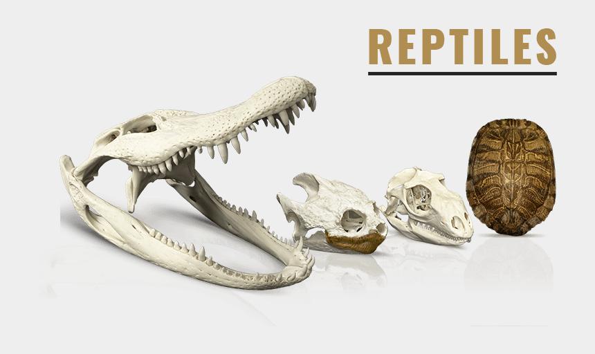 animal skeleton clipart, Cartoons - Animal Skull Png - Tyrannosaurus