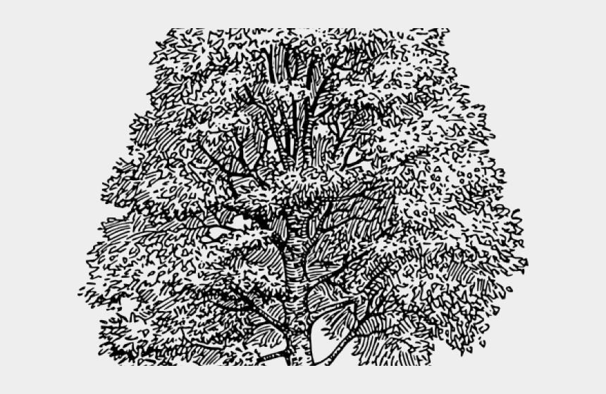 cedar tree clipart black and white, Cartoons - Cedar Tree Png - Line Drawing Beech Tree