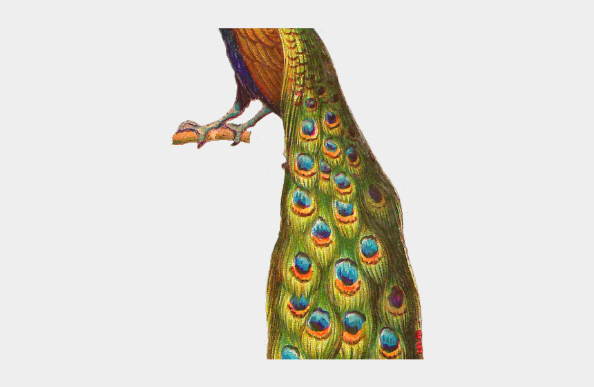 baby peacock clipart, Cartoons - Peacock Clipart Parrot - Blue High Resolution Peacock Png