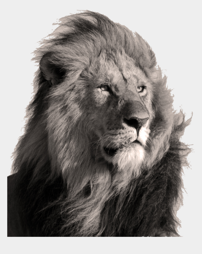 leo the lion clipart, Cartoons - #lion #art #sepia #leo #animal #animals #realisticanimal - Lion Editi