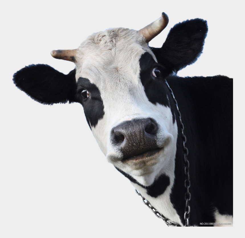 jersey cow clipart, Cartoons - Sheep Friesian Cow Wallpaper Milk Cows Cattle - Face Of A Cow