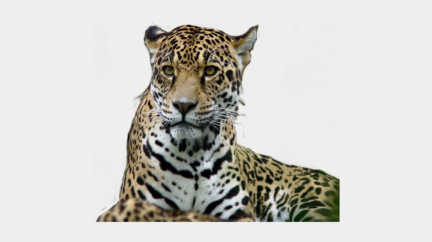 jaguar clipart, Cartoons - Jaguar Clipart Zoo Tiger - Jaguar Lion