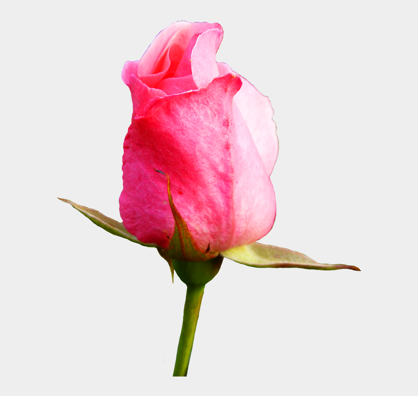 rose clipart, Cartoons - Bud Drawing Pink Rose - Flower Bud Png