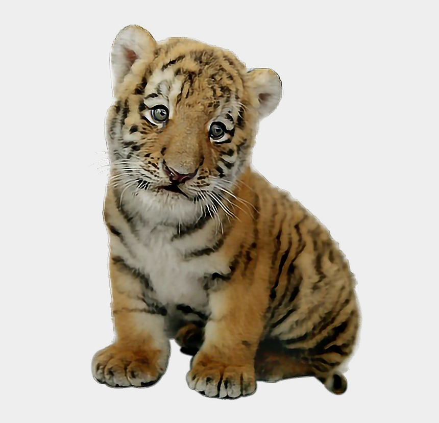 safari hunter clipart, Cartoons - #tigercub $tiger #babytiger - Real Baby Tiger Png