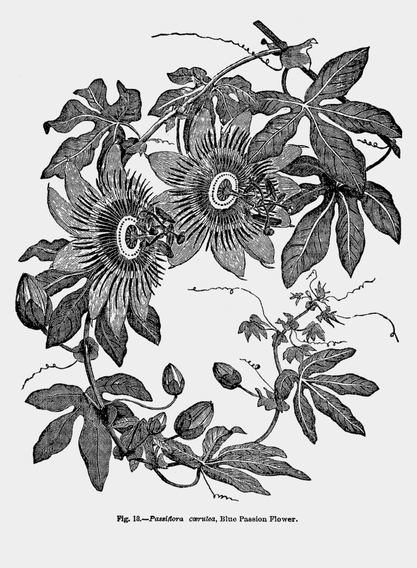 passion flower clipart, Cartoons - This Digital Flower Clip Art Would Be A Wonderful Design - Botanical Passion Flower Print