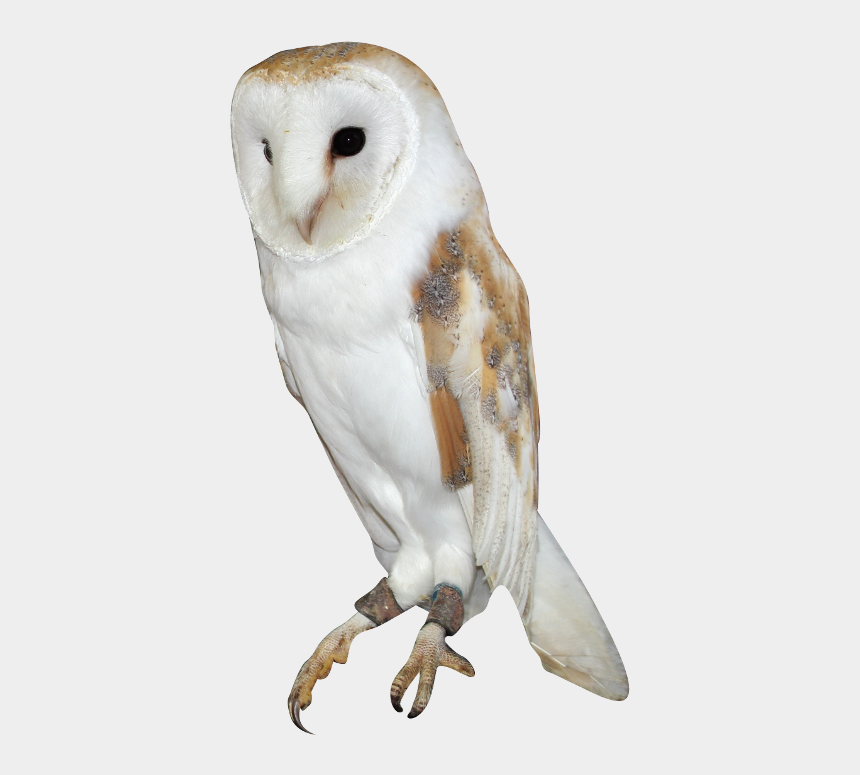 realistic owl clipart, Cartoons - Barn Owl Png Background Image - Barn Owl Owl Png