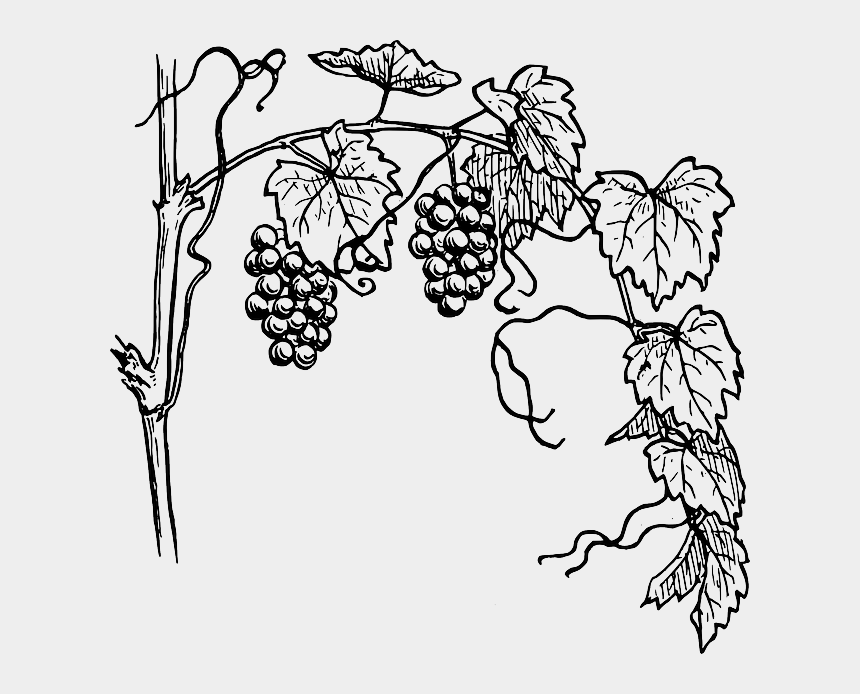 blackberry clipart black and white, Cartoons - Grapes Tree Clipart Black And White