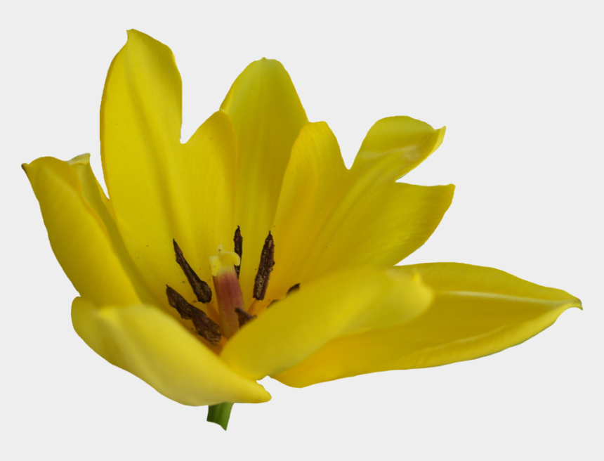 yellow tulip clipart, Cartoons - Tulip Flower Free Png Transparent Images Free Download - Yellow Tulip Png