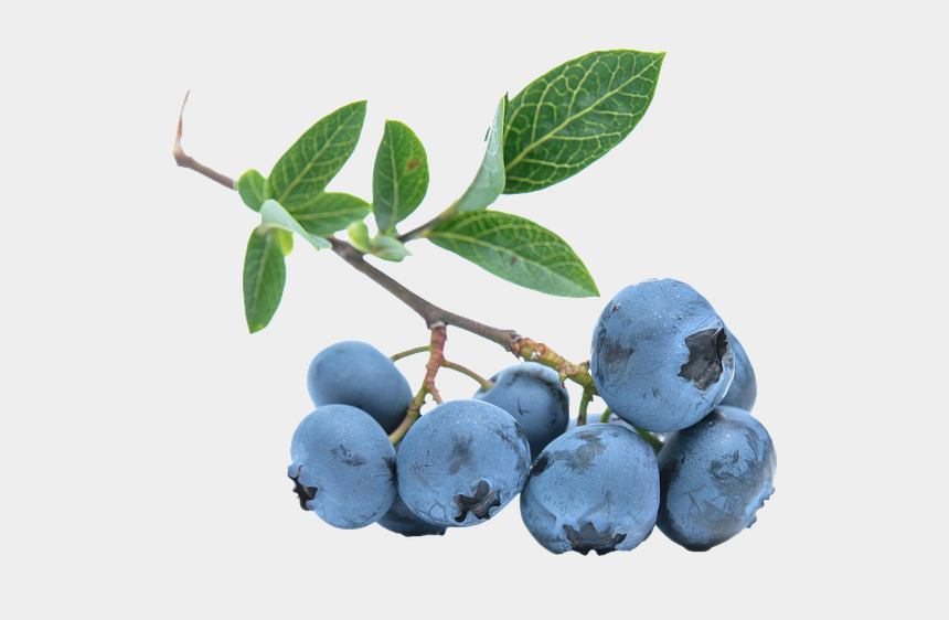 blueberry bush clipart, Cartoons - Blueberries Png - Blueberry Vine Transparent Background