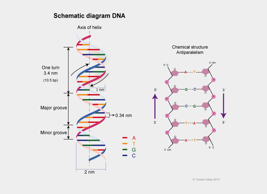 dna helix clipart, Cartoons - Double Helix Png - Dna Double Helix Structure Model