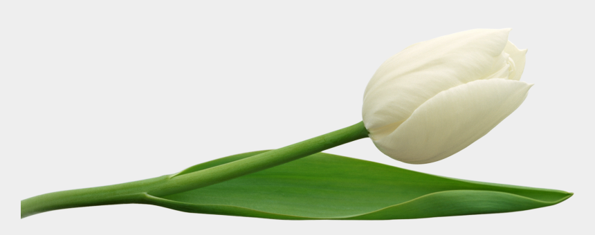tulips clipart, Cartoons - Tulip Clipart, Clipart Gallery, White Tulips, Free - Tulip Flower Png Hd