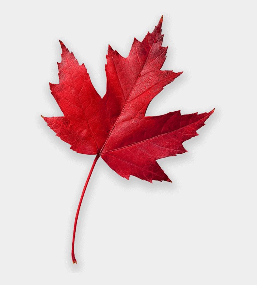 red maple leaf clipart, Cartoons - Drawn Maple Leaf Leef - High Resolution Maple Leaf