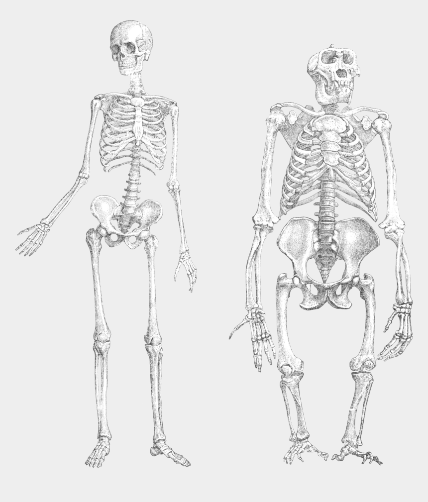 human skeleton clipart, Cartoons - Side Drawing Skeleton - Ape And Human Skeleton