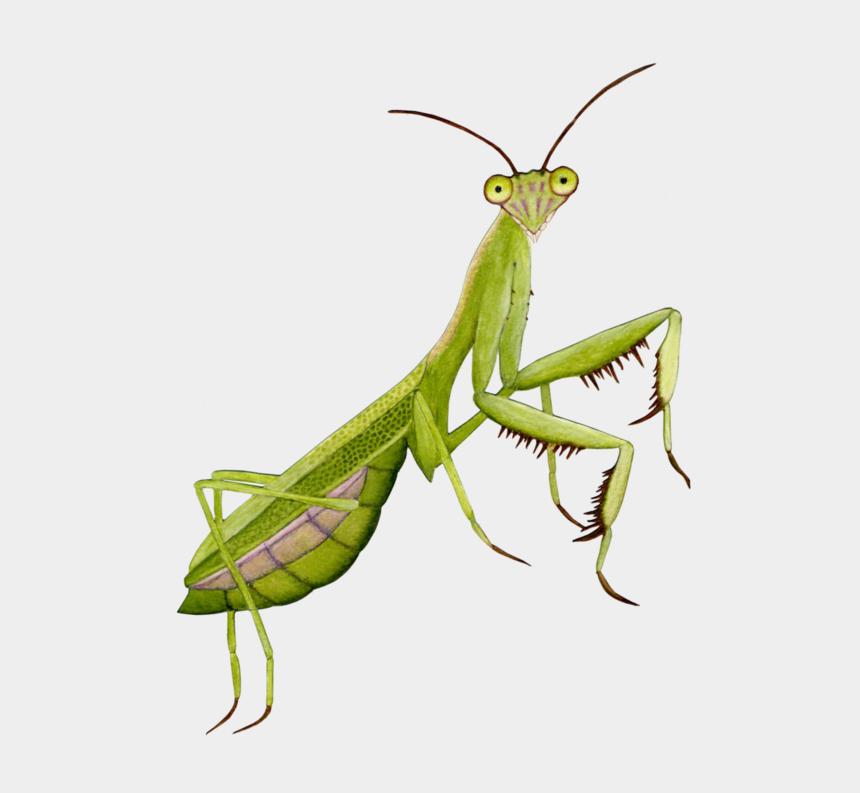 free praying mantis clipart, Cartoons - Praying Mantis Transparent Background
