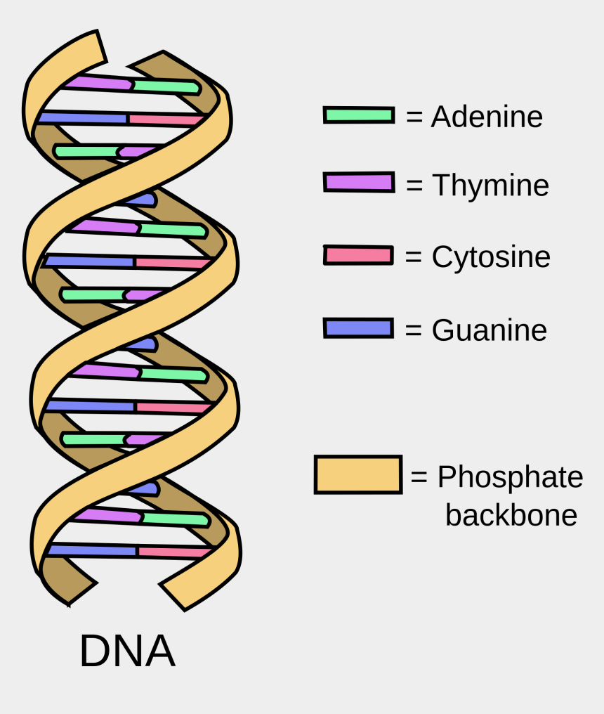 biology clipart, Cartoons - Simple Definition Of Png - Basic Structure Of A Dna
