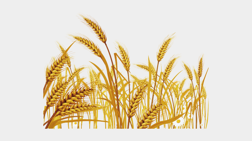 Wheat field, Wheat Fields Desktop High-definition video, wheat transparent  background PNG clipart | HiClipart
