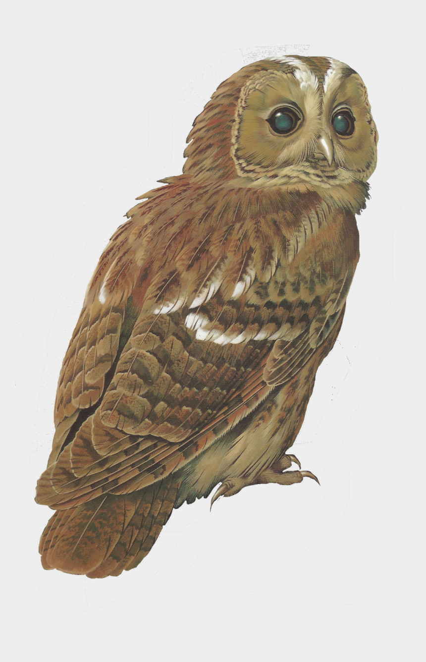 burrowing owl clipart, Cartoons - Barred Owl Clipart Tawny Owl - Transparent Background Barn Owl Transparent