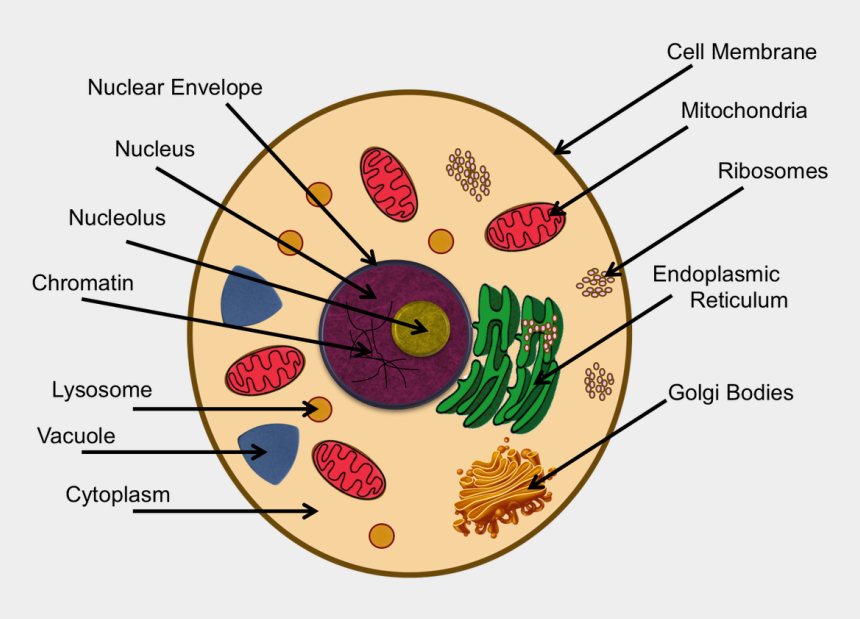 parts of the plant clipart, Cartoons - Chromatin Drawing Labeled - Animal Cell Project Cytoskeleton