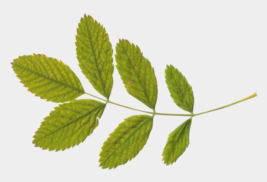 elm tree clipart, Cartoons - Clipart Leaves Elm Leaf - Stem And Leaf Png