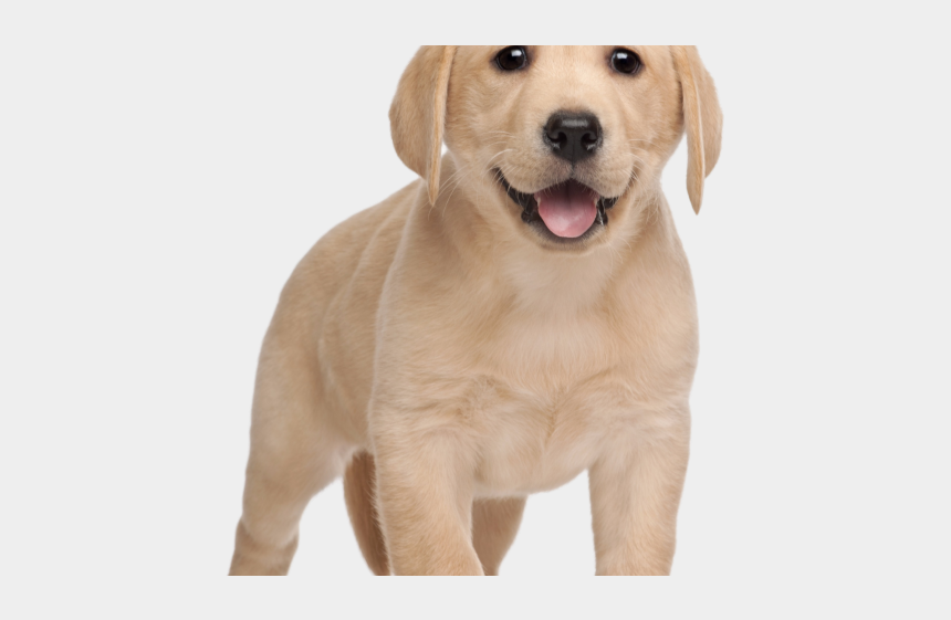 real dog clipart, Cartoons - Labrador Clipart Real Puppy - Red Sox Puppy