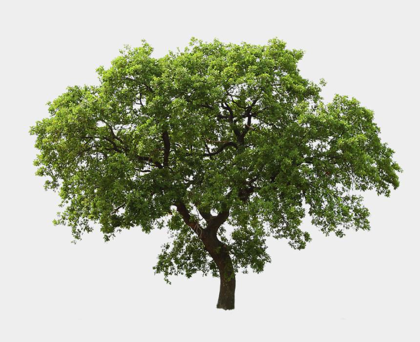 oak tree clipart, Cartoons - Life Clipart Oak Tree - Tree Png High Resolution