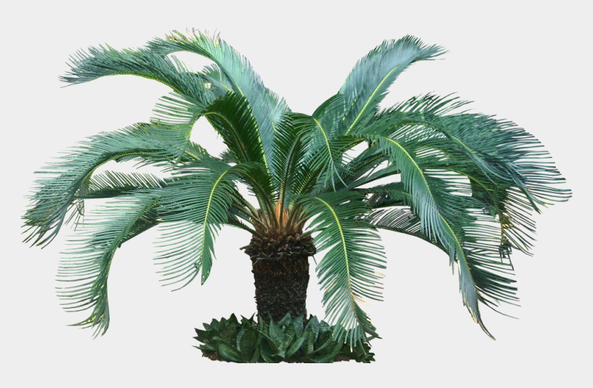 tropical tree clipart, Cartoons - Fijikit Divider Smh - Sago Palm