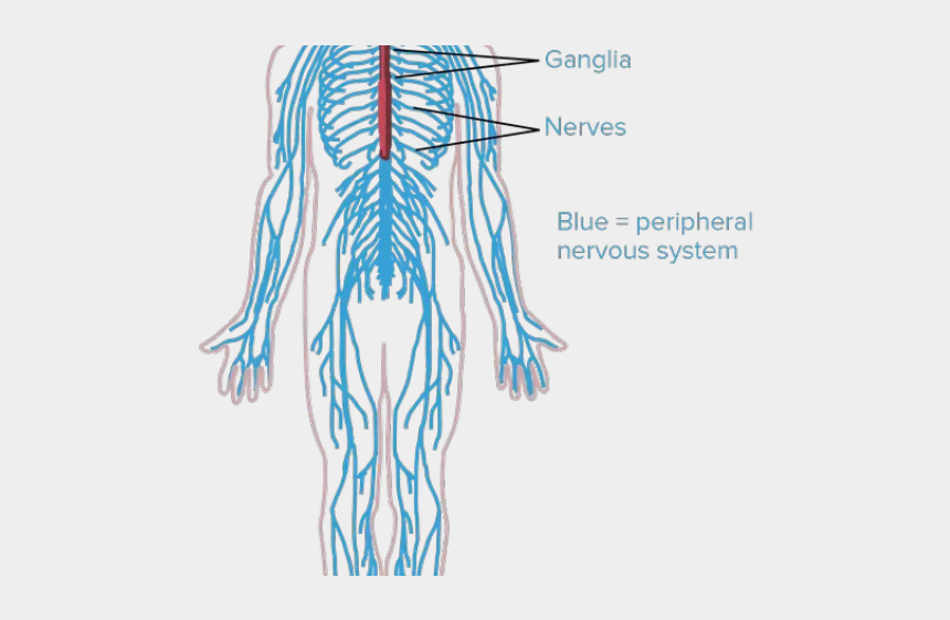 human body clipart, Cartoons - Nerves Clipart Human Body Cell - Human Body Nervous System Drawing