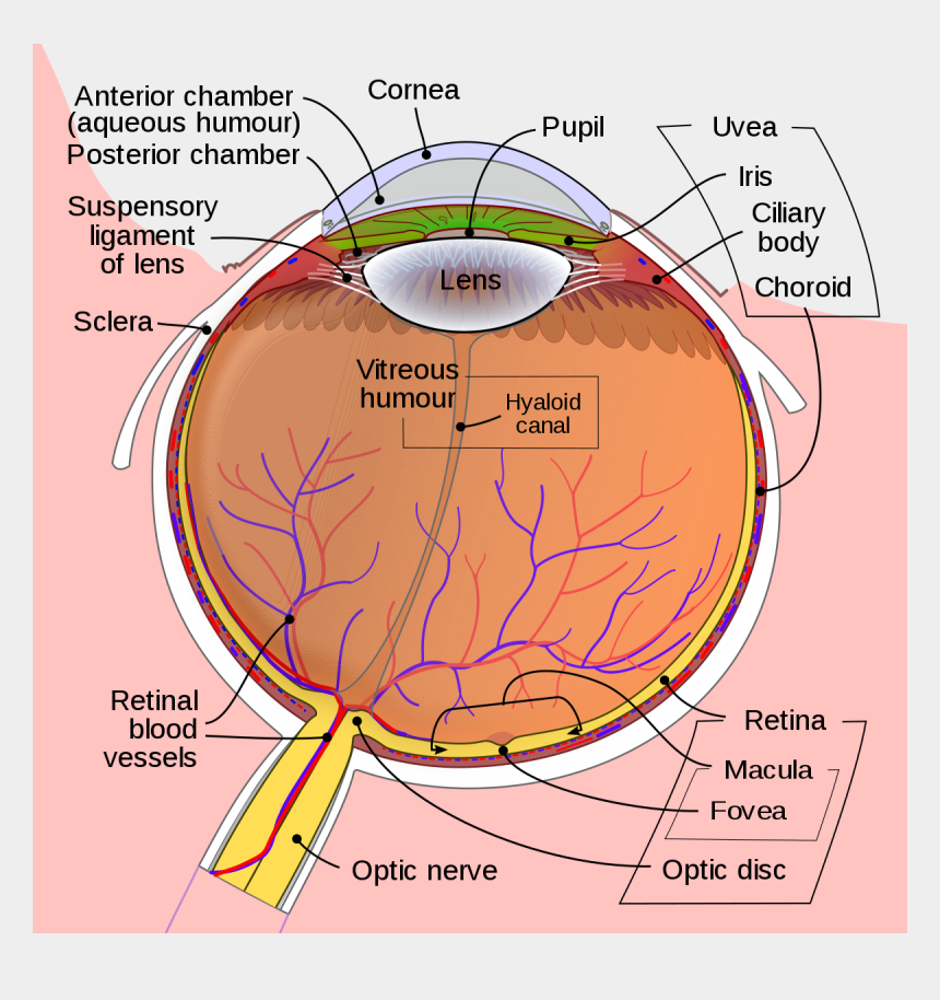 auge clipart, Cartoons - Schematic Diagram Of The Human Eye En - Biology Eye Diagram