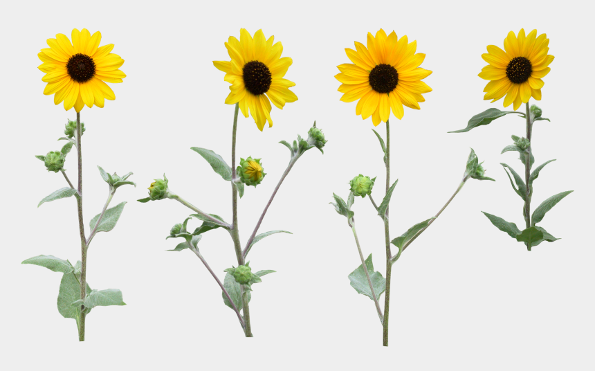 daisy clipart transparent background, Cartoons - Sunflower Clipart Png With High Resolution
