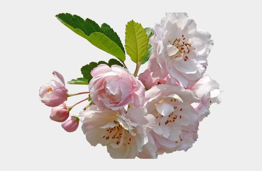 cherry blossom clipart, Cartoons - Cherry Blossom Clipart Apple Blossom - Apple Blossom No Background