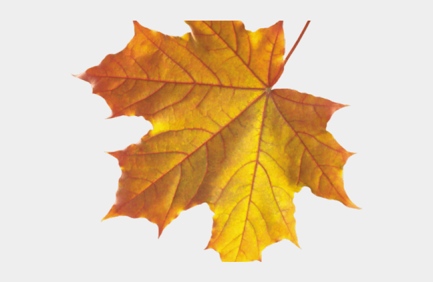 fall leaves clip art, Cartoons - Real Fall Leaves Png