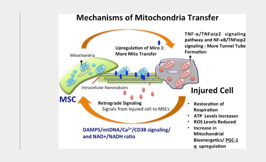 mitochondria cell clipart, Cartoons - Diagram