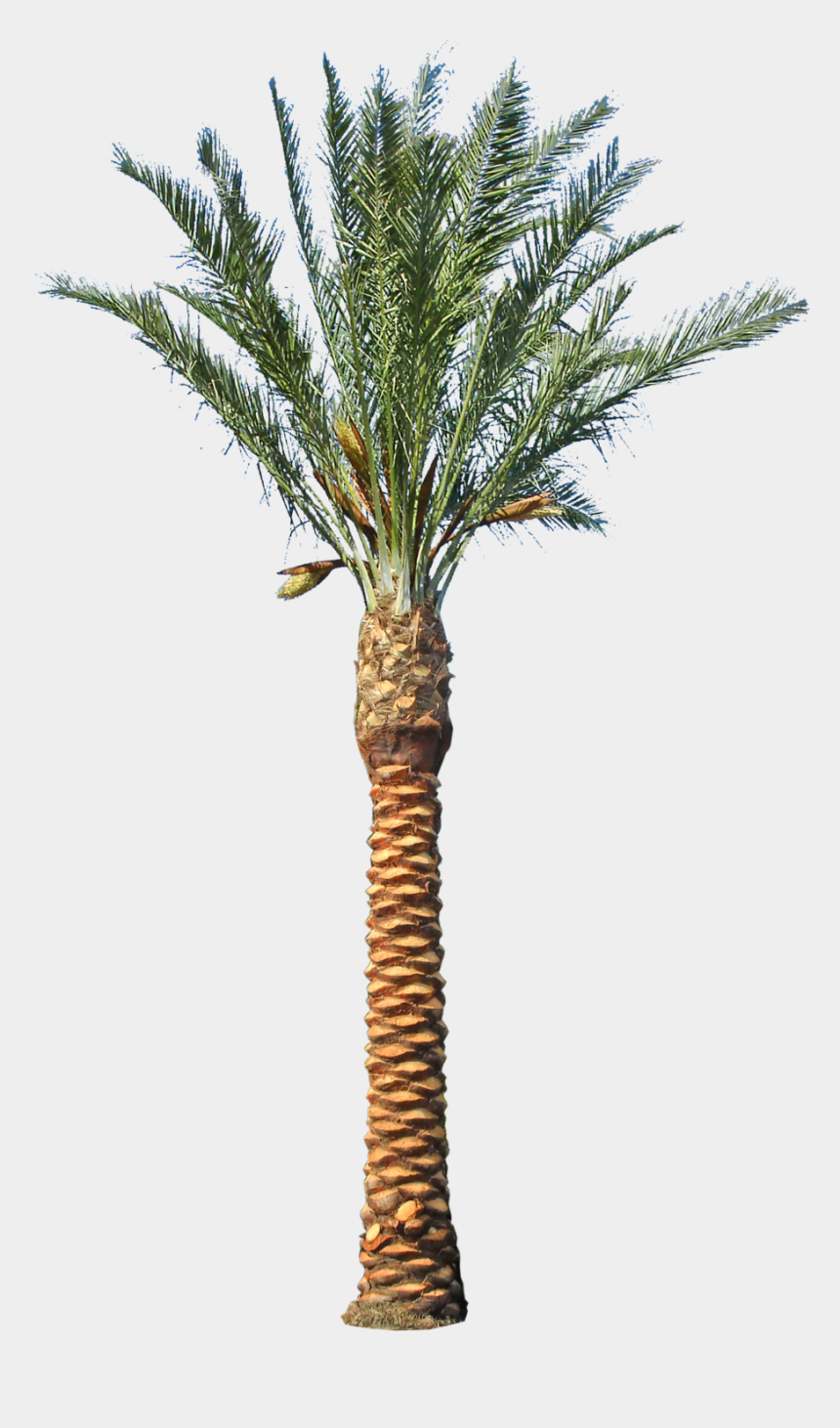 date palm clipart, Cartoons - Palm Tree Measurements Trunk Height