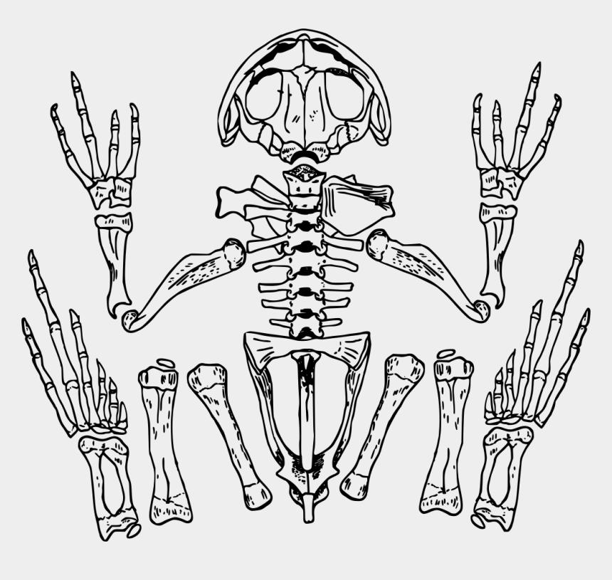 skeleton clipart, Cartoons - Fingers Drawing Skeleton - Transparent Background Frog Skeleton Transparent