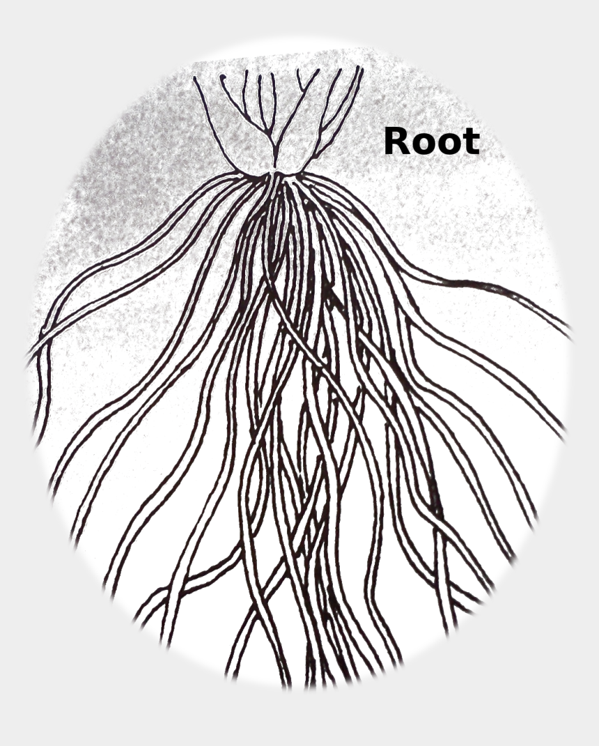 fibrous root clipart, Cartoons - Fibrous Root System Drawing