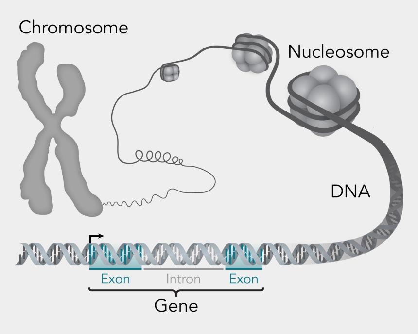 dna clipart, Cartoons - Dna Structure Clipart Genetic Trait - Dna Gen Chromosom