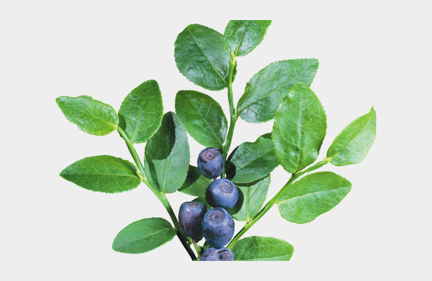 blueberry clipart, Cartoons - Blueberry Clipart Blueberry Tree - Blueberry