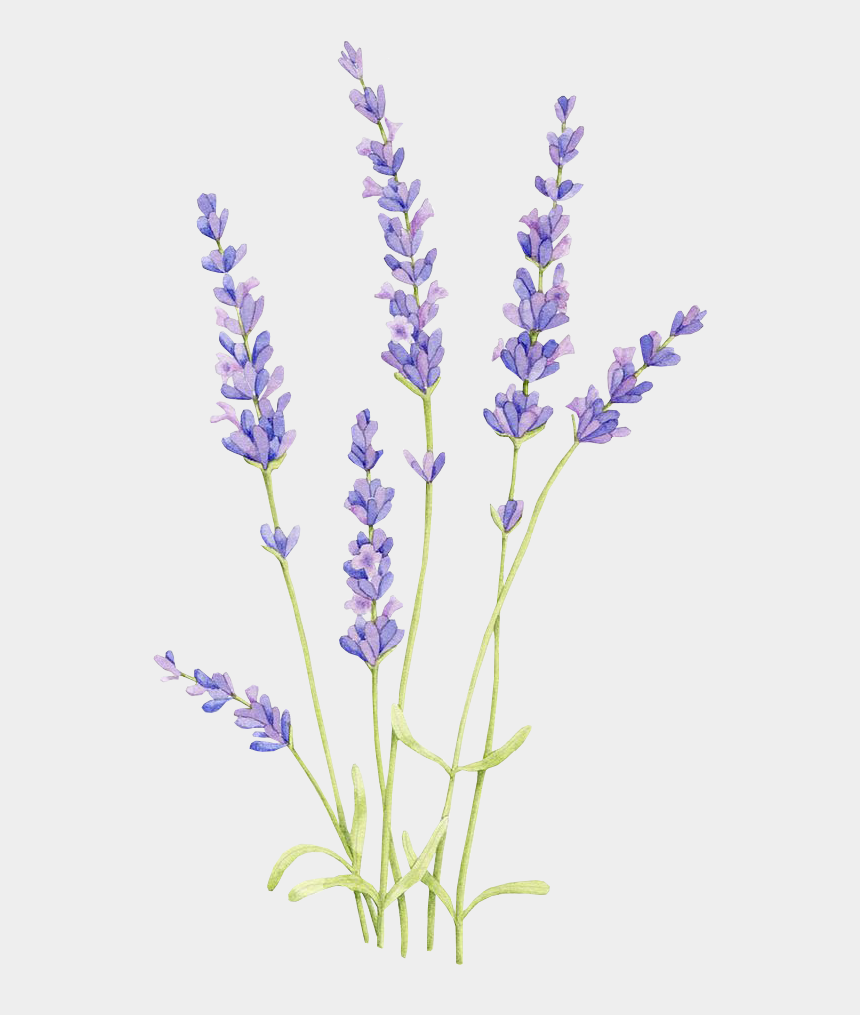 bluebonnet clip art, Cartoons - Drawing Watercolor Painting English Lavender Lavender - Lavender Drawing