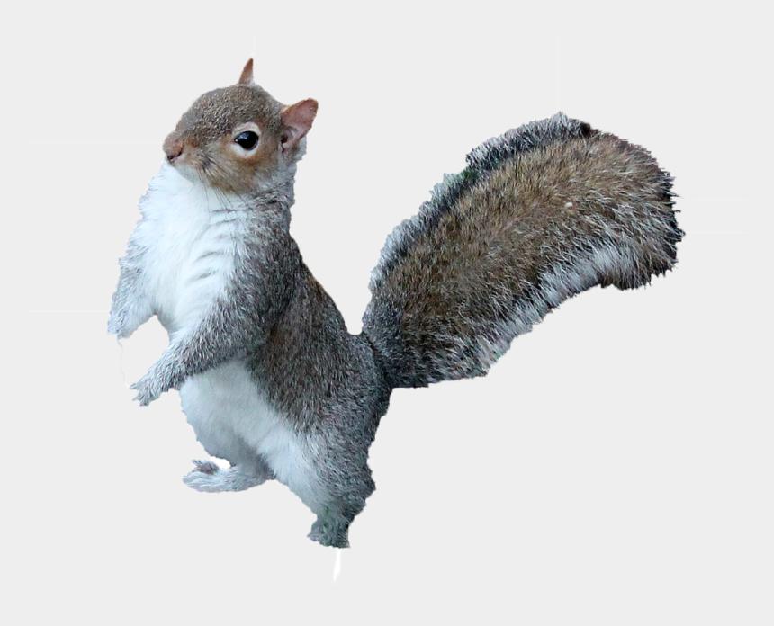 squirrel clipart, Cartoons - Squirrel Clipart Png - Grey Squirrel Squirrels Png