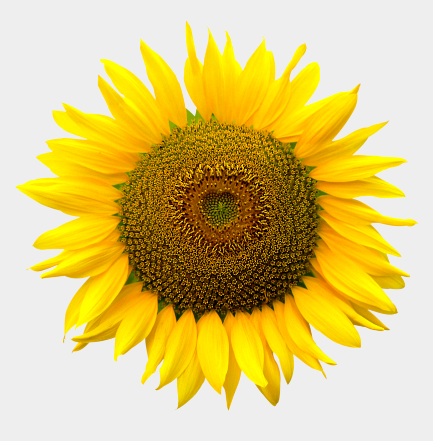 sunflower seed clip art, Cartoons - Grab And Download Sunflower Png - Color Realistic Sunflower Drawing