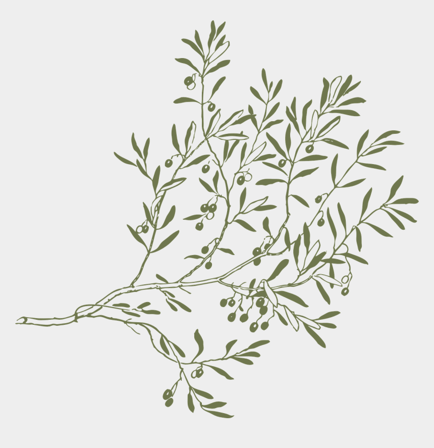 olive leaf clip art, Cartoons - Branch Olive Leaves Free Picture - Olive Tree Branch Png