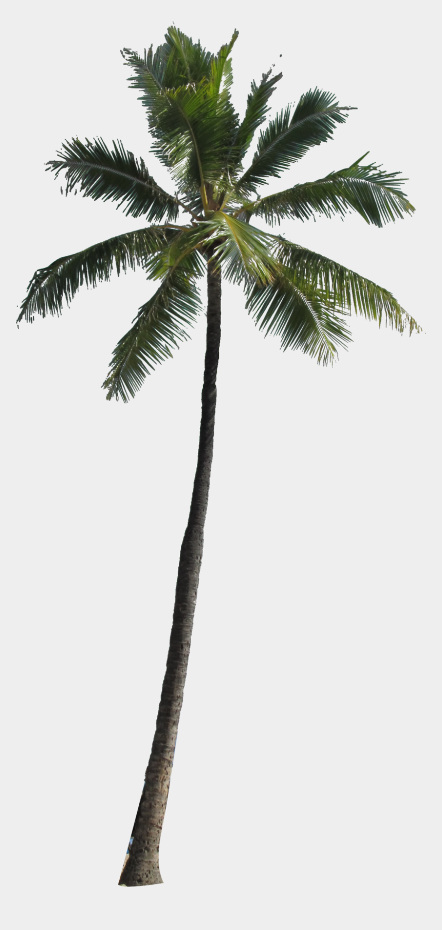 coconut tree clipart, Cartoons - Coconut Tree Png Picture - Coconut Tree For Photoshop