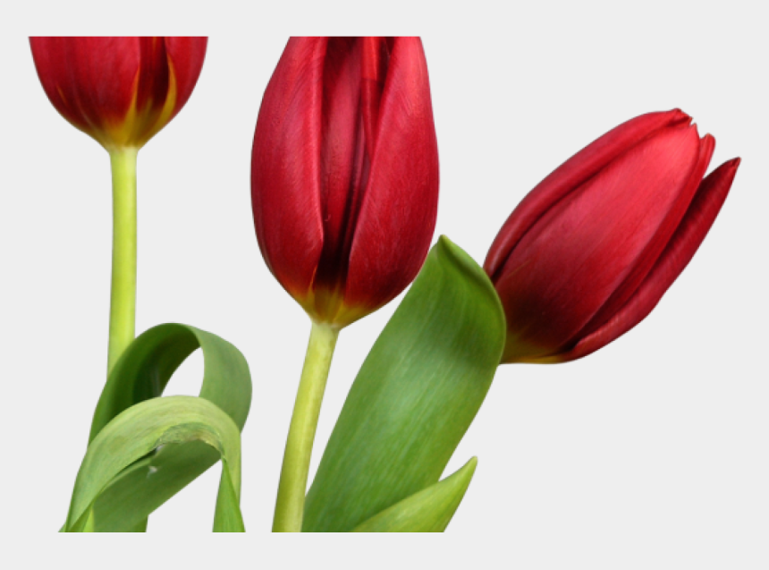 tulips clipart, Cartoons - Transparent Tulips Png Flowers Clipart Clipart Pinterest - Tulips With White Background Hd